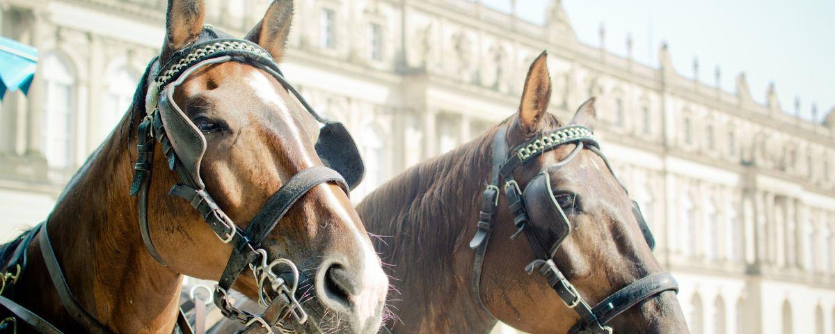 Pferde Mit Scheuklappen Als Symbol Für Betriebsblindheit Als Hemmnis Für Innovation - TOM SPIKE